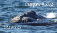 Right whale female Catspaw