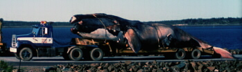 Delilah, dead right whale on flatbed